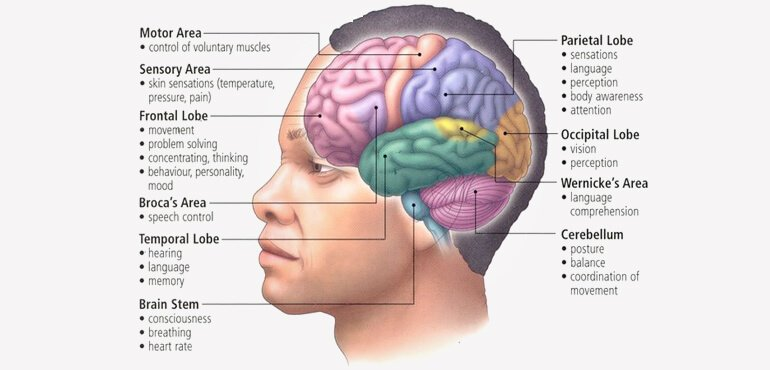 basic-structure-and-function-of-human-brain